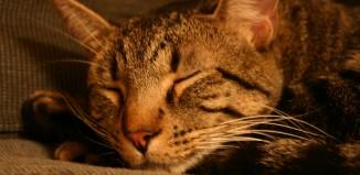 שושי החתולה