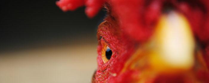 תרנגול אש