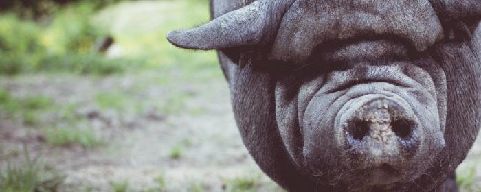 החזיר
