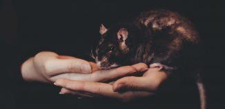 שנת עכברוש מתכת